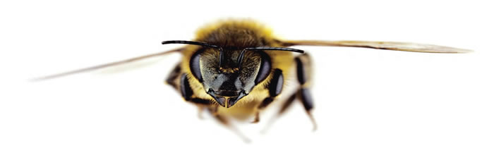 bee white background - flying