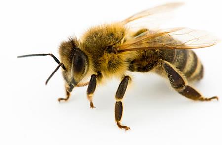 bee white background